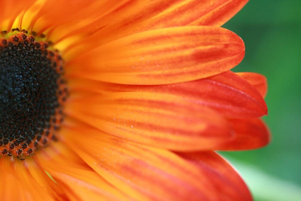 daisy by JulesVandermaat