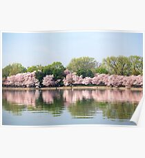 Cherry Blossoms on the TIdal Basin Poster