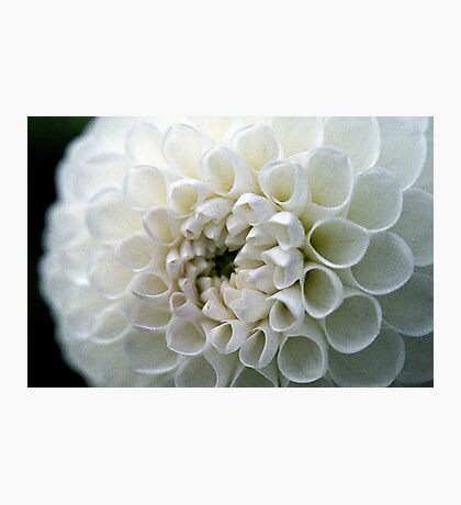 Dahlia in white Photographic Print