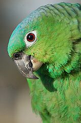 Blue Fronted Amazon by cml16744