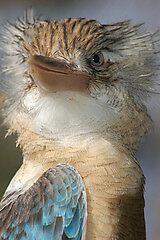 Kookaburra by cml16744
