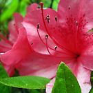 azalea blossums 2 by LoreLeft27