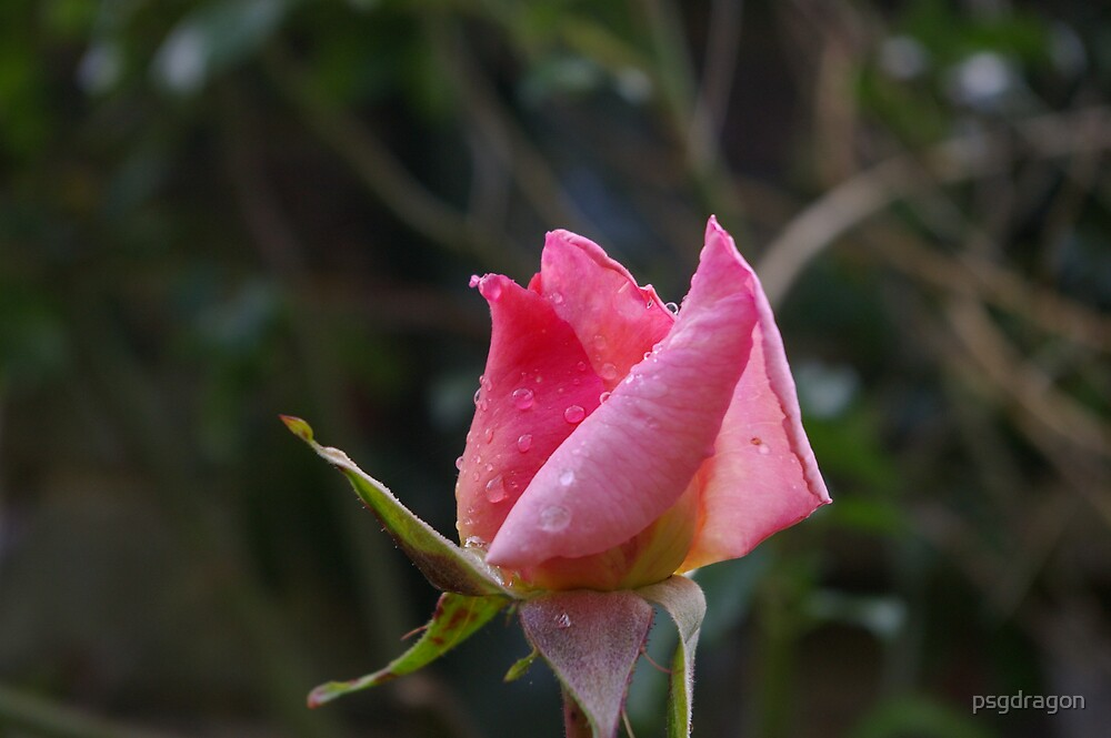 Rain on Rosebud by psgdragon