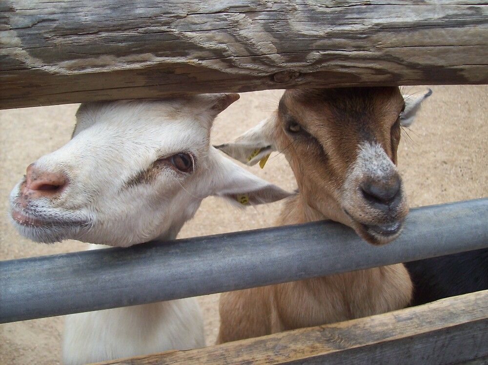 Two Goats Are Better Than..... A Cow? by Lindsey James