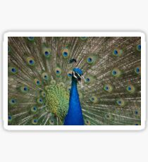 Gorgeous Peacock with Tailfeathers Fanned Sticker