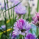 Chives by Anna Boyett