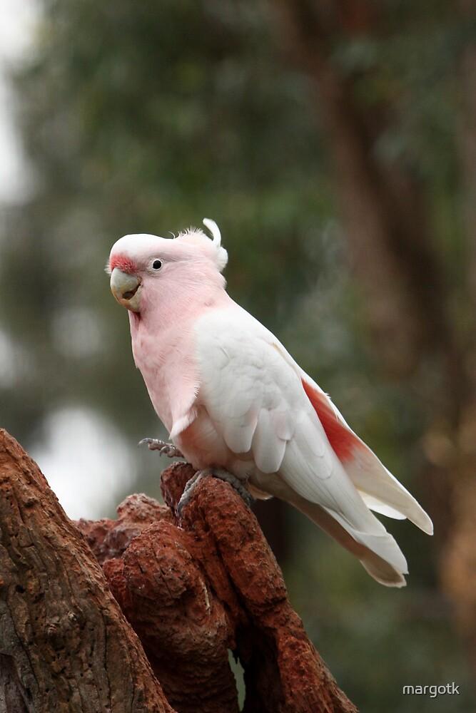 Pink Cockatoo by margotk