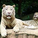 white tigers resting by Christopher Birtwistle-Smith