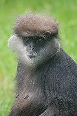 Purple Faced Langur by cml16744