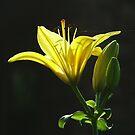Asiatic Lily by Lolabud