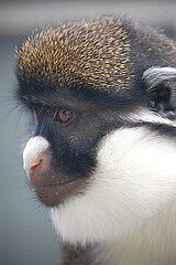 Spot Nosed Guenon by cml16744