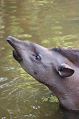 Brazillian Tapir by cml16744
