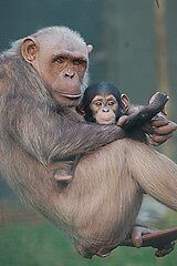 Chimpanzee with Baby by cml16744