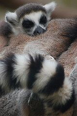 Ring Tailed Lemur by cml16744