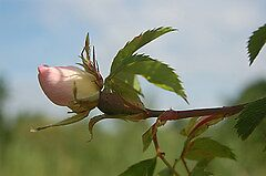 Dog Rose by cml16744