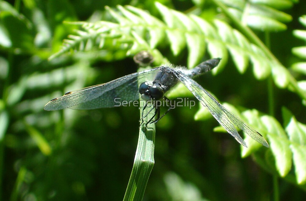 Dragonfly in the Sun by Serendipity2lip