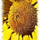 Sunflower ll by Focal-Art