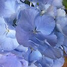 Beautiful Blue Hydrangea Bacchus Marsh Florist, Vic. by EdsMum