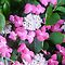 *Avatar/Hydrangea - Enchanted Flowers*