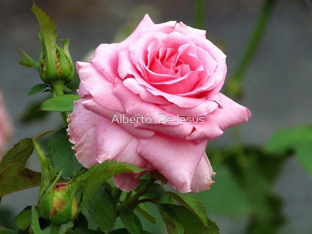 Rose by Alberto  DeJesus