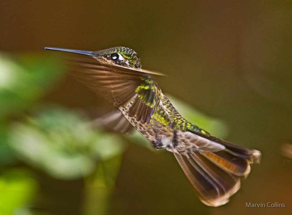 Hummingbird by Marvin Collins