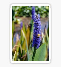 Bumblebee gathers nectar from a blue pontederia flower  close-up Sticker