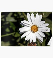Head of white daisy flower with a white spider on it close-up Poster