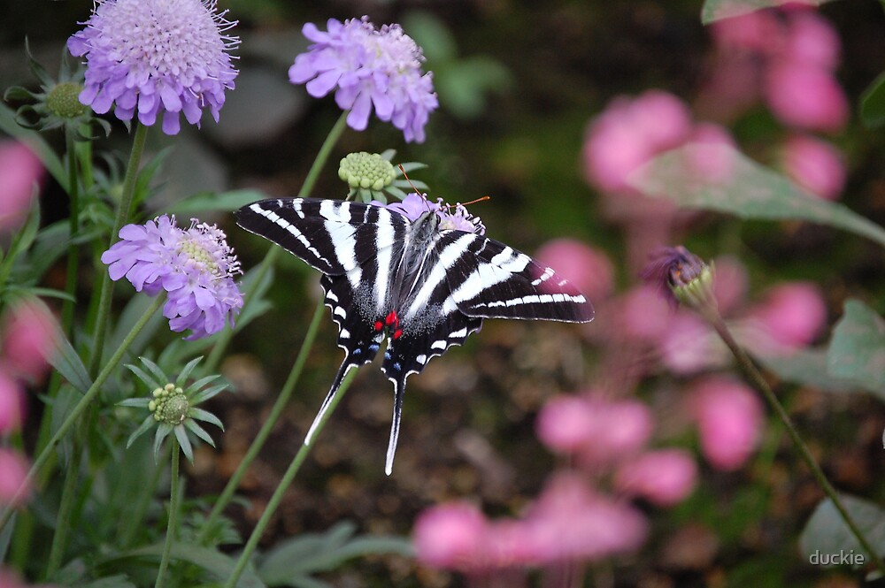 black and white butterfly by duckie