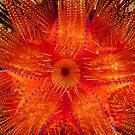 Rainbow Fire Urchin, Wakatobi National Park, Indonesia by Erik Schlogl