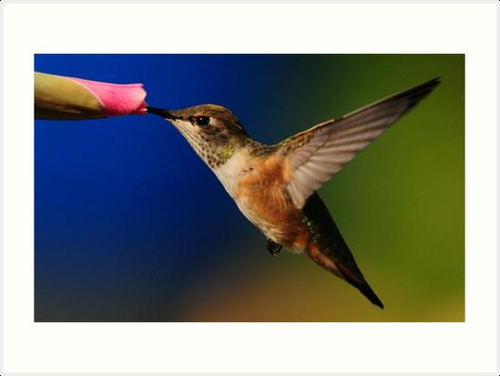 RUFOUS  HUMMINGBIRD by RoseMarie747