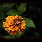 Butterfly On Zinna by wcpadgett