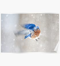 Bluebird in Snow Poster