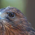 Red Shouldered Hawk by Laura Puglia
