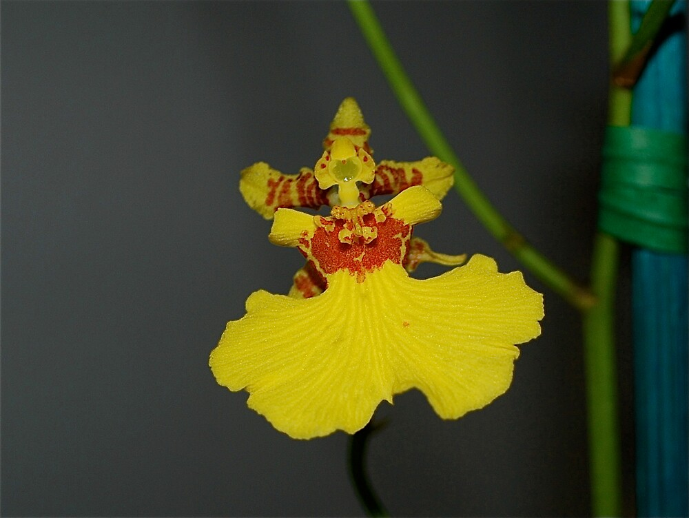 Party Dress Orchid by Jim Caldwell