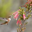 Hungry Allen's Hummer by eyes4nature