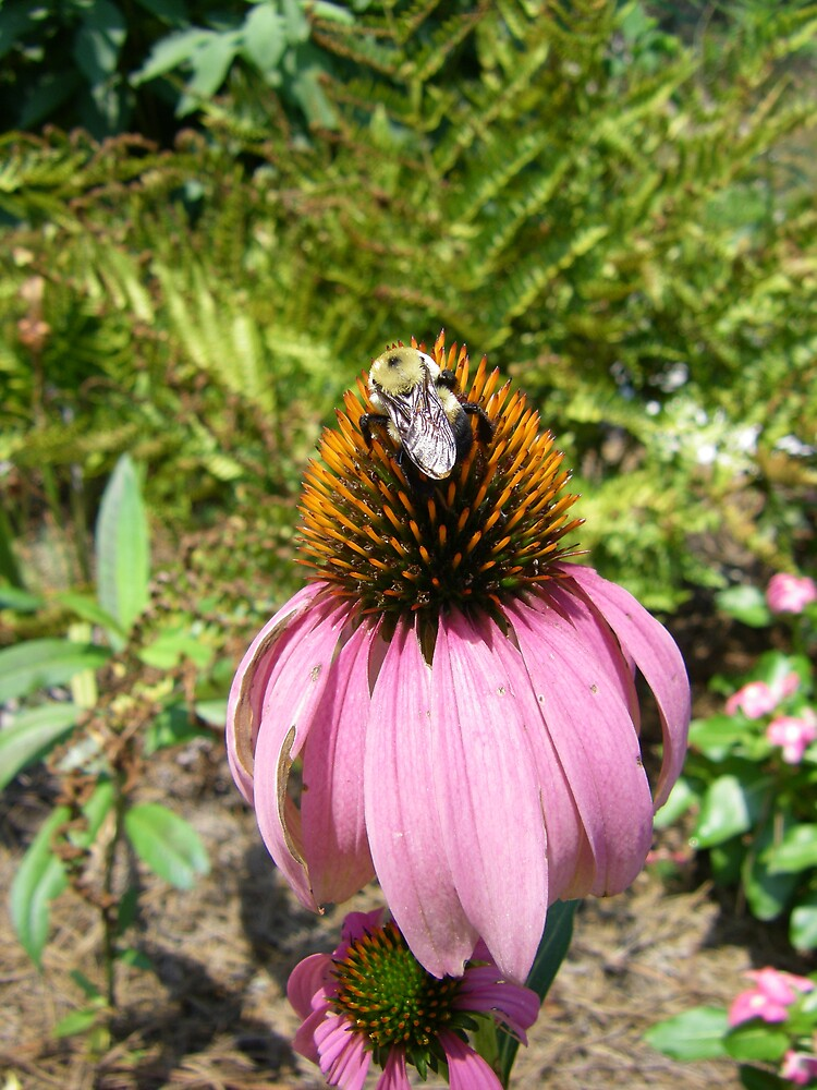 echinacea cone flower and bee by Sheila McCrea