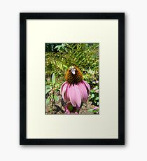 echinacea cone flower and bee Framed Print