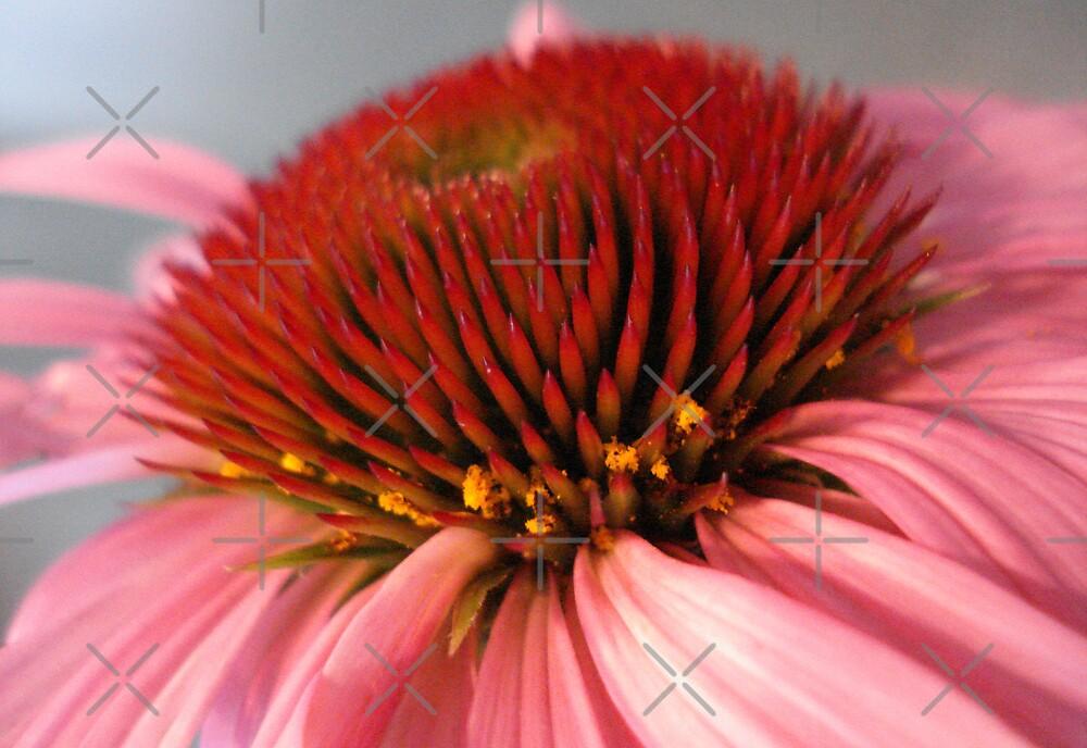 Echinacea by JRobinWhitley