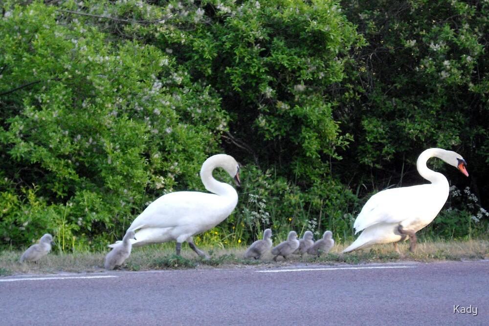 Swan family walking by Kady