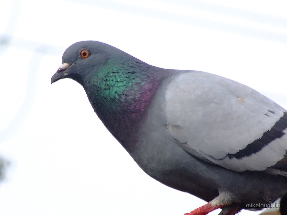 Pigeon on roof  by mikeloughlin
