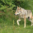 European Grey Wolf by EdgeOfReality