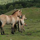 Przewalski's Horse by EdgeOfReality