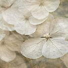 Hydrangeas & lace by Celeste Mookherjee