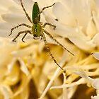 Green lynx spider by Celeste Mookherjee