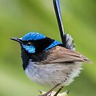 Superb Fairy Wren by bidkev1
