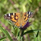 Painted Lady by Martha Medford
