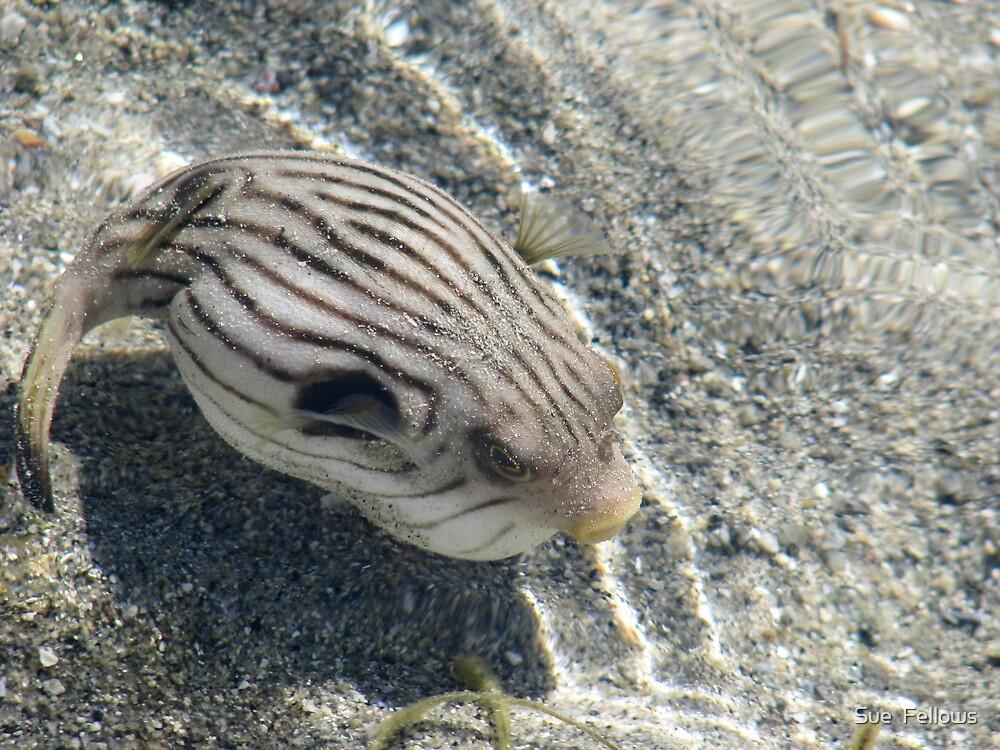 """Puffer Fish""  by Sue  Fellows"