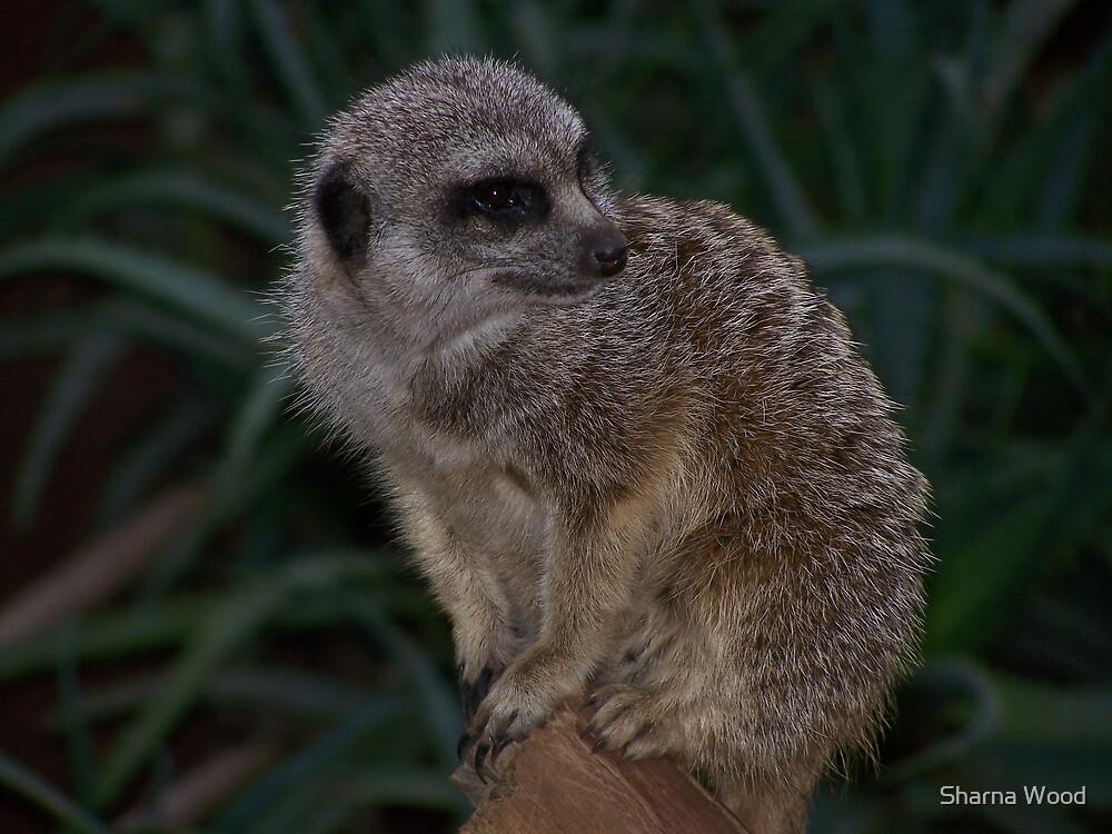 meerkat by Sharna Wood