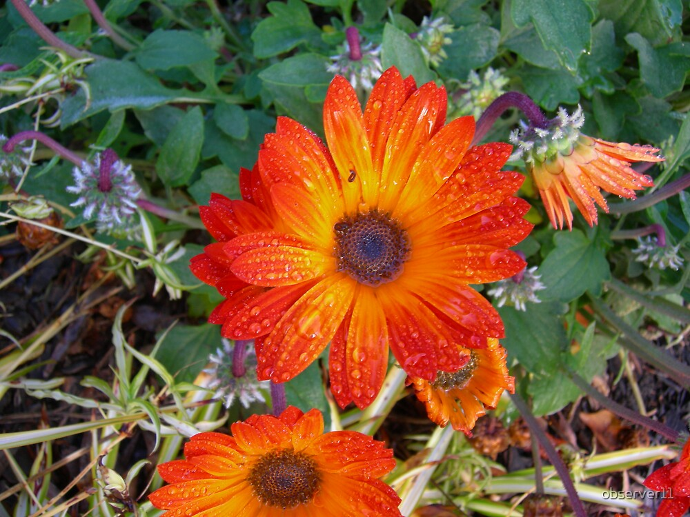 Orange Beauty  by observer11