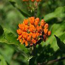 Large Milkweed Bugs by Gary L   Suddath